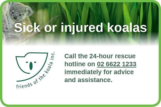Sick or injured koala