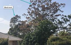 Local koala trees poisoned