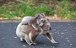 New road signs: Crikey! Slow down, koalas are about