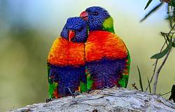 Join this year's Aussie Backyard Bird Count
